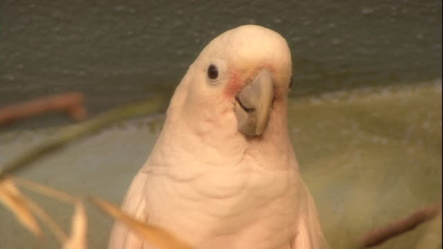 a pink cockatoo blinks. - blinking stock videos & royalty-free footage