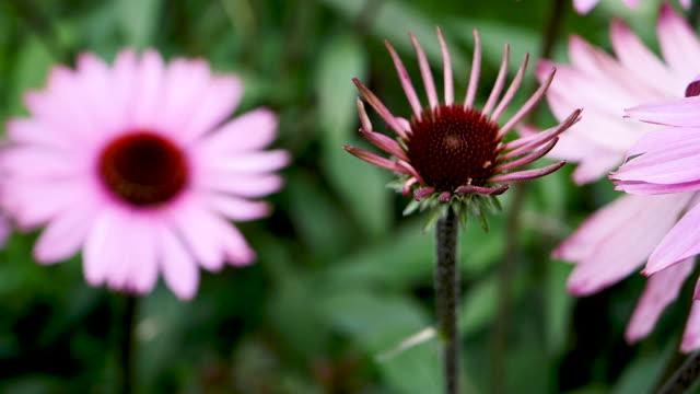 blüten rosa kegel hautnah - sonnenhut stock-videos und b-roll-filmmaterial