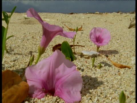 vidéos et rushes de pink convolvulus flowers growing on beach, papua new guinea - tropical