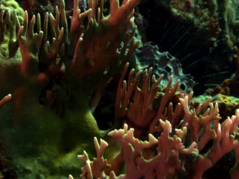 pink coral varieties and eboni urchins - anna maria island stock videos and b-roll footage