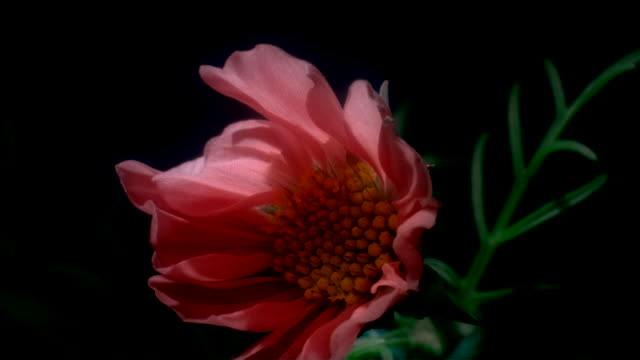 A pink Cosmos flower blooms in a time lapse. Available in HD.