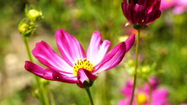 vídeos de stock, filmes e b-roll de flor de cosmos-de-rosa - processo vegetal
