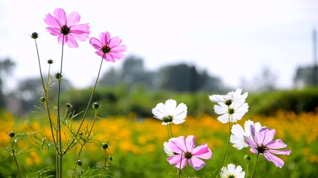 pink cosmos flowers, bee and orange cosmos flower field - arancione video stock e b–roll