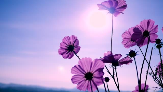 vidéos et rushes de cosmos rose se balançant au vent en journée ensoleillée. espace copie - violet