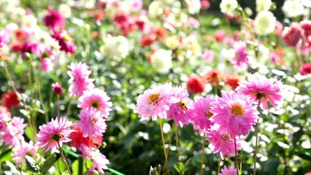 ピンクダリアの花のガーデン - ダリア点の映像素材/bロール