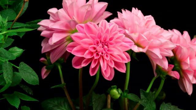 Rosa Rosen Blumen erblühen 4 K