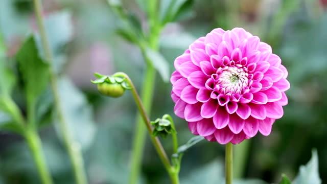 pink dahlia - single flower stock videos & royalty-free footage