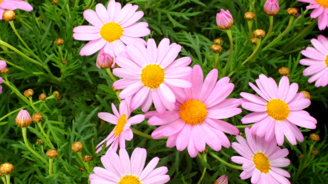 pink daisies bud blooming - daisy stock videos & royalty-free footage