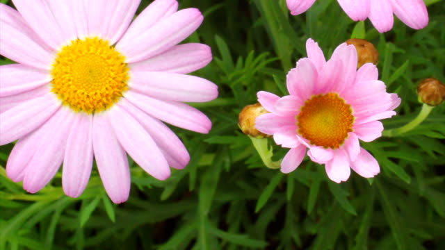 pink daisy blooming - daisy stock videos and b-roll footage