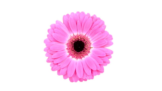 pink daisy flower on white background - daisy stock videos and b-roll footage