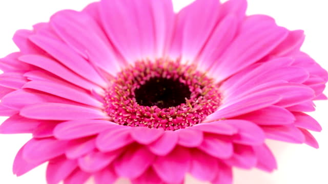 pink daisy flower on white background - daisy stock videos & royalty-free footage