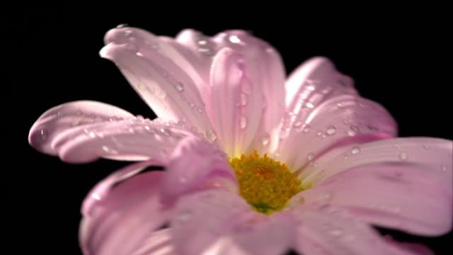 Rosa Gänseblümchen-Blume, Pflanze mit schwarzem Hintergrund