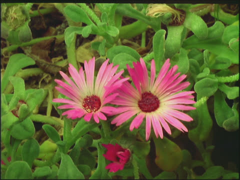pink daisy flowers wilting - aptenia stock-videos und b-roll-filmmaterial