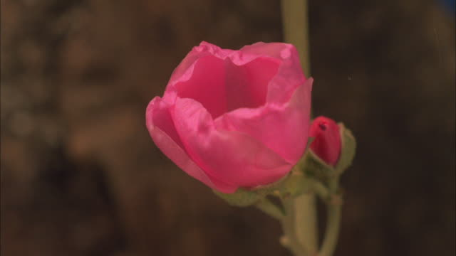 Pink desert mallow blossoming Available in HD.
