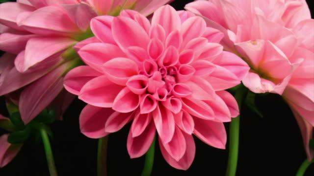 vidéos et rushes de fleur rose dhalia - mouvement