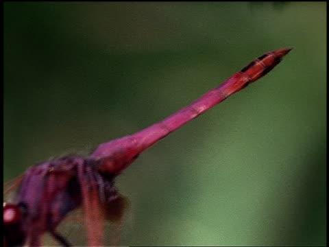 vidéos et rushes de a pink dragonfly perches on a stick. - brindille
