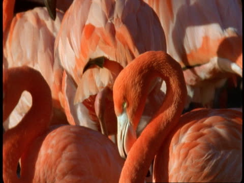 a pink flamingo bends its neck to groom itself. - animal neck stock videos & royalty-free footage