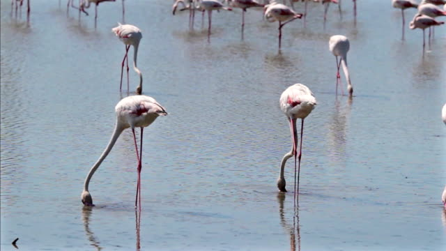 Pink Flamingo in Camargue - France