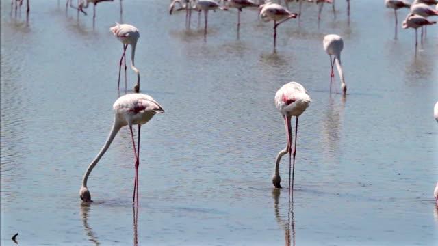 stockvideo's en b-roll-footage met roze flamingo in camargue-frankrijk - pjphoto69