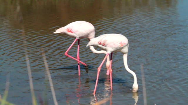 pink flamingo in camargue - france - pjphoto69 stock videos & royalty-free footage