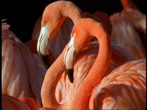 a pink flamingo shakes its head and cranes its neck. - animal neck stock videos & royalty-free footage