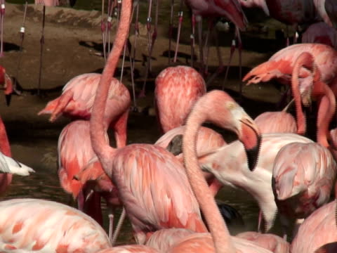 pink flamingos eating - named wilderness area stock videos & royalty-free footage