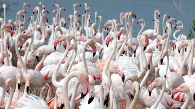 rosa flamingos am ufer - herde stock-videos und b-roll-filmmaterial
