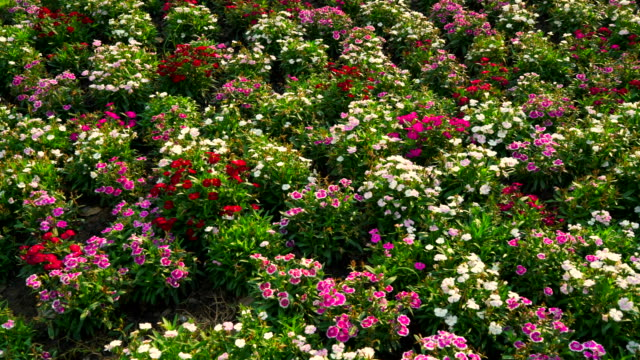 vídeos de stock, filmes e b-roll de flor-de-rosa e branco pólen, jardim verde, amanhã. - bouquet