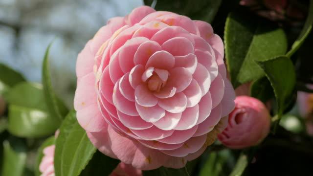 Pink flower in Chiba, Japan