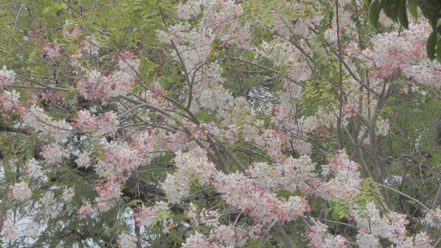 rosa blomma av häst cassia - ståndare bildbanksvideor och videomaterial från bakom kulisserna
