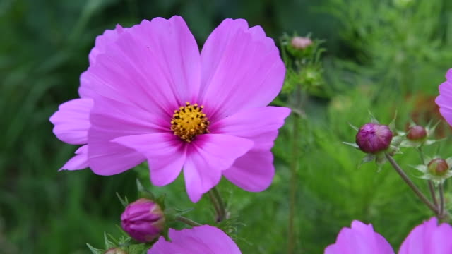 a pink flower swaying gently in the breeze. - swaying stock videos & royalty-free footage