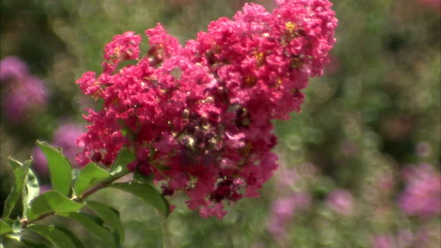 a pink flower sways in a breeze. - flowering plant stock videos & royalty-free footage