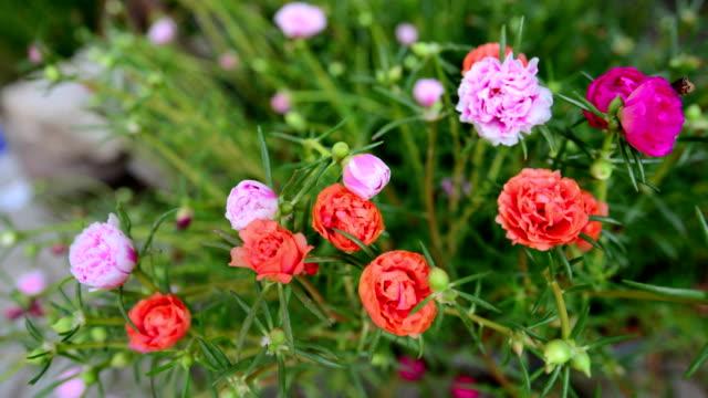 ピンクの花の時間の経過 - changing form点の映像素材/bロール