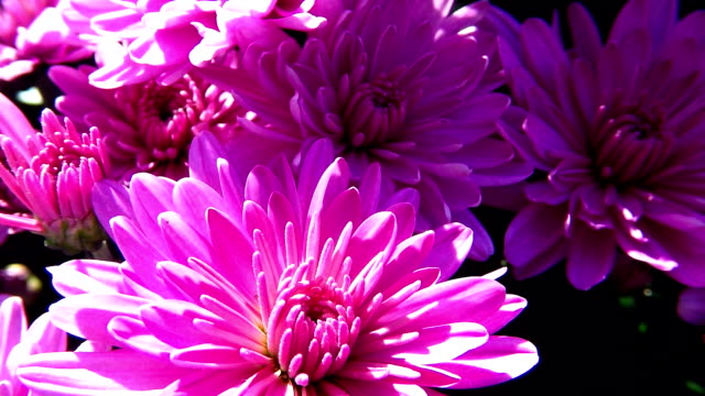 vidéos et rushes de fleur rose - composition florale