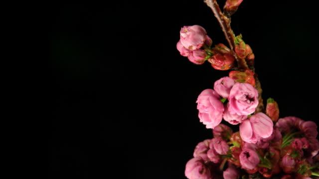 vídeos de stock e filmes b-roll de rosa flores desabrochando - prunus taihaku
