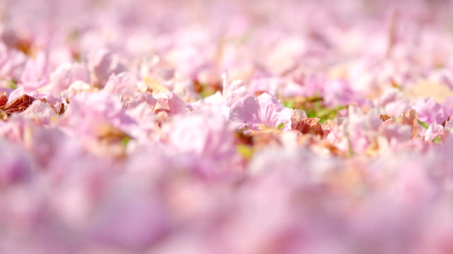 pink flowers blossom on the floor - rose petal stock videos & royalty-free footage