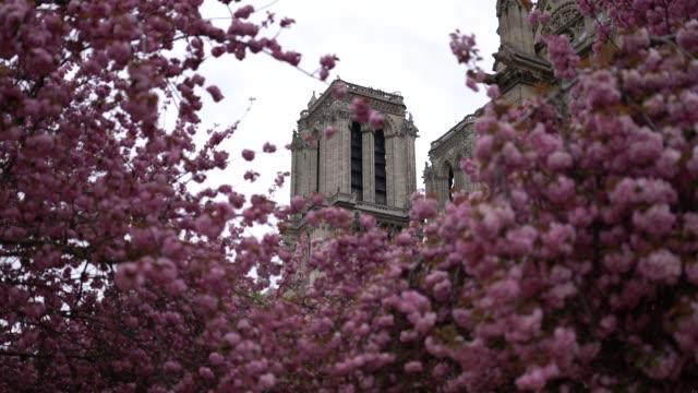 vidéos et rushes de pink flowers from sakura cherry blossom trees are seen near the notre dame de paris cathedral, on april 13, 2019 in paris, france. - cathédrale