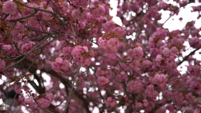 pink flowers from sakura cherry blossom trees are seen, on april 13, 2019 in paris, france. - image video stock e b–roll