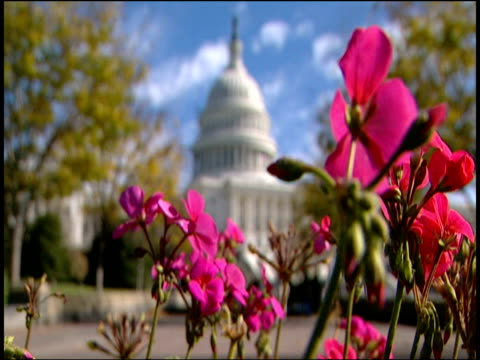 pink flowers in foreground pull focus to us capitol hill building under blue sky and wispy clouds - wispy stock videos and b-roll footage