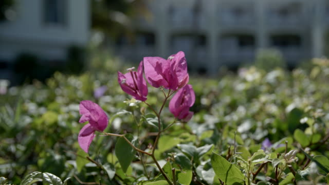pink flowers in hedges / provodenciales, turks & caicos islands - provo stock videos and b-roll footage