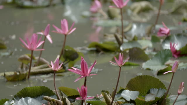 pink flowers & lily pads / malaysia - sacred lotus stock videos and b-roll footage