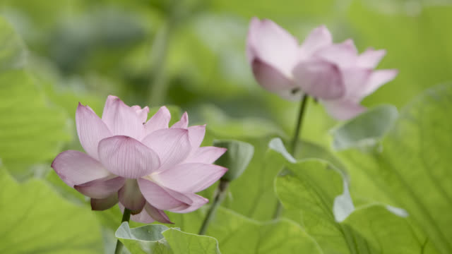 pink flowers of sacred lotus, japan. - lily stock videos & royalty-free footage