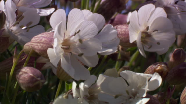 "vidéos et rushes de pink flowers of sea campion (silene uniflora) on cliff top, uk - ""bbc natural history"""