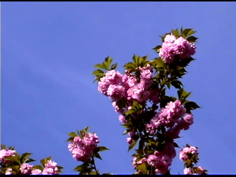 pink flowers on crape myrtle tree against blue sky - crepe myrtle tree stock videos and b-roll footage