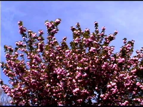 pink flowers on crape myrtle tree - crepe myrtle tree stock videos and b-roll footage