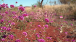 Pink flowers seen blooming in desert regions of the outback, set against red earth and light blue sky.