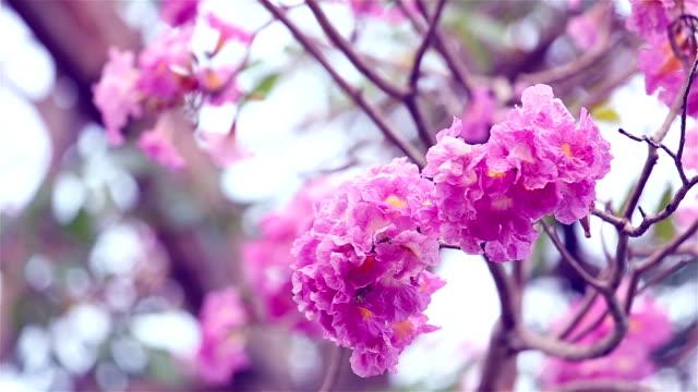 pink flowers tabebuia rosea blossom - magenta stock videos & royalty-free footage