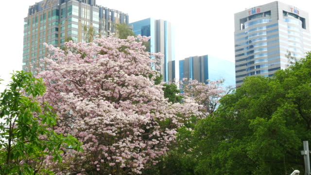 Pink flowers Tabebuia rosea blossom with tower background