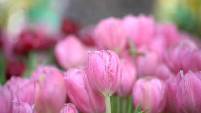 vidéos et rushes de tulipes de fleurs roses dans un jardin - pince à papier