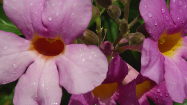 EXTREME CLOSE UP pink flowers with water drops blow in breeze